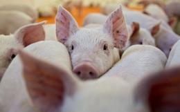 Rabobank: Nhu cầu nhập khẩu thịt lợn của Trung Quốc sẽ tăng cao kỷ lục trong năm 2020