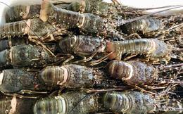 Rộ giải cứu mùa dịch Covid-19, dân buôn bán hàng tạ tôm hùm mỗi ngày