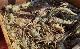Giá tôm hùm xanh ở Khánh Hòa đang nhích lên