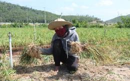 Tỏi Khánh Hòa liên tục giảm giá