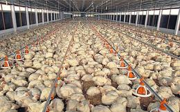 Nhiều trại gà thoát lỗ nhờ giá gà công nghiệp tăng mạnh trở lại