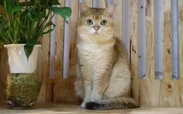 Mèo Anh lông ngắn và trào lưu nuôi mèo cưng