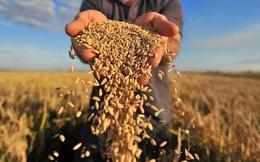 Thị trường gạo từ Châu Á tới Châu Phi căng thẳng do chuỗi cung ứng bị gián đoạn vì Covid-19