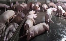 Giá lợn cao đe dọa sự bền vững của doanh nghiệp chăn nuôi