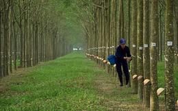 Cao su Thống Nhất đưa hơn 64.000 cây cao su ra thanh lý
