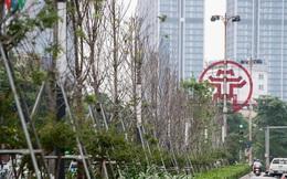 Hàng cây phong lá đỏ trơ trụi, thiếu sức sống giữa nắng hè Hà Nội