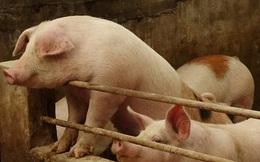Cổ phiếu thịt lợn tăng thần tốc, giới chuyên gia vẫn nhận định còn tăng tiếp