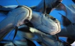 Nhu cầu cá tra tại Trung Quốc đã tăng 60-70% trong tháng 4/2020, Vĩnh Hoàn (VHC) kỳ vọng kinh doanh sớm hồi phục sau quý 1 kém sắc