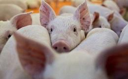 Lần đầu tiên Việt Nam cho nhập khẩu lợn sống để hạ giá lợn hơi trong nước