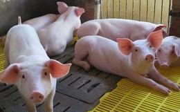 Thêm công ty nuôi lợn tại Đồng Nai lãi quý I đã vượt cả năm 2019