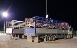 500 con lợn sống từ Thái Lan vào Việt Nam được đưa đi cách ly
