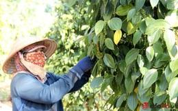 Vừa bán sạch kho thì hồ tiêu tăng giá, dân trồng tiêu Tây Nguyên tiếc hùn hụt