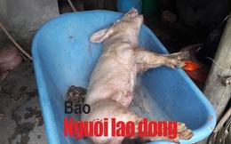 Mật phục bắt chủ trang trại bán con giống cho dân nhiễm dịch tả heo châu Phi
