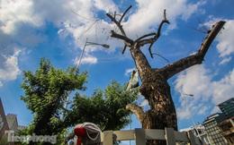 Nhiều cây sưa 'tiền tỷ' trên đường phố Hà Nội dần chết khô trong bọc sắt
