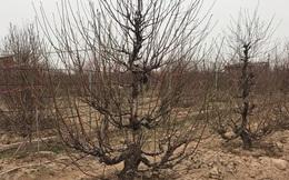 Chưa nở hoa, cây bạch đào độc nhất tại Nhật Tân vẫn được trả giá thuê 40 triệu đồng