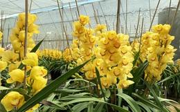 Nắng đẹp, hoa 'cười', người trồng địa lan Đà Lạt 'khóc'
