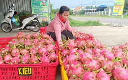 Bình Thuận: Giá thanh long dịp tết ở mức thấp, nông dân buồn lo