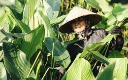 """Ảnh: """"Thủ phủ"""" lá dong lớn nhất Hà Nội hối hả thu hoạch vào vụ Tết"""