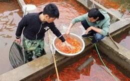 Làng nghề cá chép đỏ Thủy Trầm
