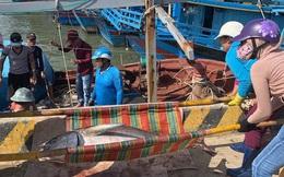 """Ngư dân Phú Yên """"mỏi tay"""" khiêng cá ngừ đại dương"""