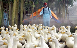 Việt Nam xuất hiện 10 ổ dịch cúm A/H5N6, tiêu hủy hơn 4 vạn gia cầm