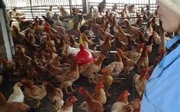 Giá gà tăng gấp đôi, người chăn nuôi vẫn than lỗ