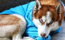 Câu chuyện về chú chó Hachiko của nước Nga: Chờ đợi người chủ tan làm mỗi ngày để về cùng nhau