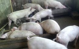 """Dịch tả lợn Châu Phi đang """"chạm đáy"""""""