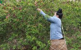 Mận chín đỏ cây không có người mua, nông dân lo đói!