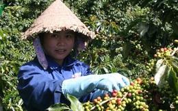 Thị trường giảm mạnh do Covid-19, giá cà phê thấp nhất 10 năm trở lại đây