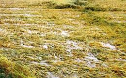 Nông dân Huế bất lực nhìn hàng nghìn hecta lúa chín chìm trong nước