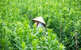 Người trồng hoa Hà Nội lâm cảnh 'hoa cười người khóc'