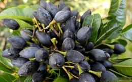 """Có loại quả trông đen nhẻm, xấu xí nhưng ai biết cũng muốn mua ngay: Ăn 1 lần là """"nhớ suốt đời"""", trị được 15 loại bệnh vô cùng thần kỳ"""