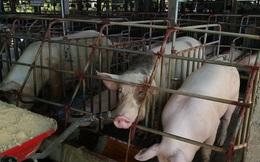 Giá lợn tăng, lợn giống khan hiếm nông dân khó tái đàn