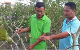 Nắng hạn kéo dài, cây ăn quả ở Cà Mau thiệt hại