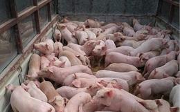 Nguồn hàng khan hiếm, giá lợn giống tăng kỷ lục
