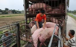 Sớm đưa giá lợn hơi giảm về mức khoảng 60.000 đồng/kg