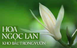 """Trồng một cây hoa ngọc lan: Thơm - ngon - đẹp - Thật xứng danh là một """"kho báu"""" trong vườn"""