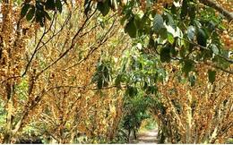 Những vườn dâu chín rụng nhưng chưa có thương lái tìm mua
