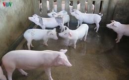 Bình Định cho vay không lãi suất để tái đàn lợn