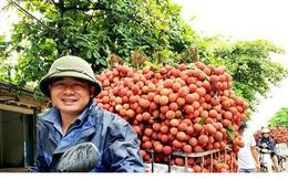 Nông dân trồng vải mong chờ ngày xuất khẩu sang Nhật Bản