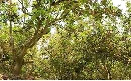 Gần 18.000 ha lúa và cây ăn trái thiệt hại do hạn mặn