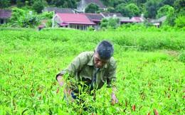 Nông dân khốn khổ vì ớt rớt giá