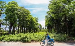 Cận cảnh hàng cây cổ thụ ở Kim Mã chết mòn sau 4 năm đánh chuyển