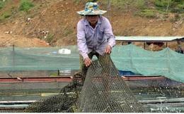 Thoát nghèo từ nuôi cá lồng trên lòng hồ thủy điện Sơn La