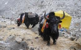 Không phải chó ngao, loài vật này mới là báu vật của Tây Tạng với công dụng toàn năng, bất kỳ bộ phận nào cũng có thể 'đẻ ra tiền'