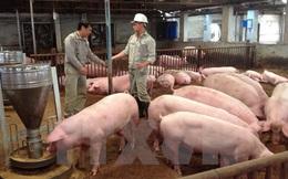 Cuối tuần, giá lợn hơi giảm mạnh trước tin sắp nhập lợn Thái Lan