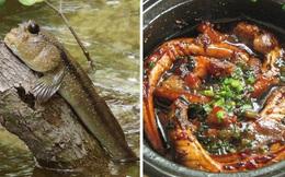 Việt Nam có một loài cá biết leo cây, chạy nhảy và còn là đặc sản nổi tiếng cả một vùng
