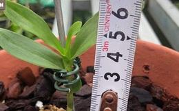 """5 triệu đồng mua được 1 centimet, loại cây này có gì đặc biệt mà gây """"sốt"""" làng cây cảnh"""