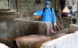 Dịch tả lợn châu Phi trở lại, nông dân Lai Châu trắng tay khi tái đàn